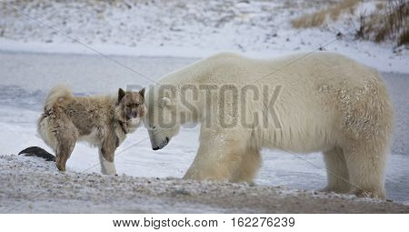 Unlikely pair of Polar Bear and Canadian Eskimo Dog.  Autumn in Churchill, Manitoba, Canada.