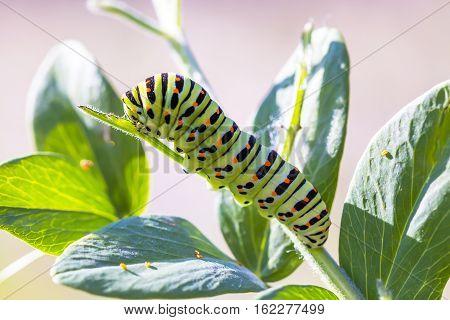 Caterpillar butterfly Papilio machaon Linnaeus on the grass