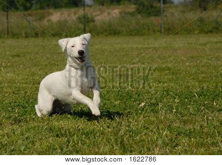 Running Jack Russel Terrier