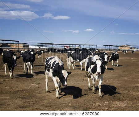 Agriculture shot of cows on farm with blue sky copy space area