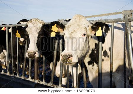 Modern agriculture photo with cows on farm