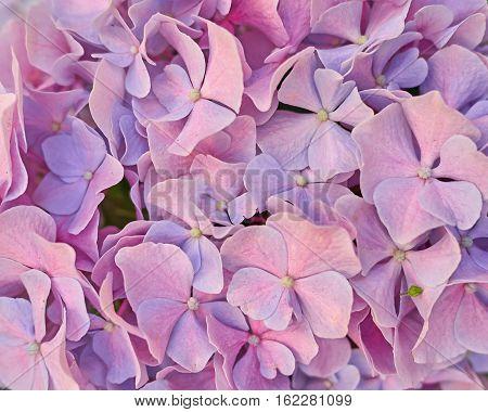 light pink hortensia flower closeup natural background