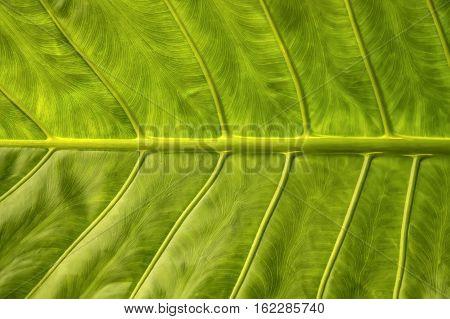 Araceae leaf is a family of monocotyledonous flowering plants
