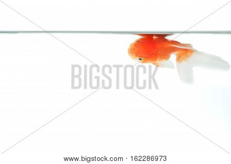 Goldenfish floating near surface of water isolated on white background.
