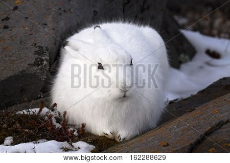 Close up image of an arctic hare in winter fur.  Churchill, Manitoba, Canada.