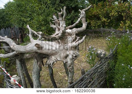 foto old tree roots with dry branches