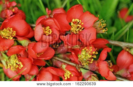 Red flowers of Japanese quince blossom in the garden