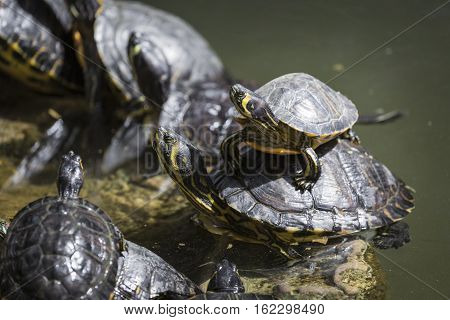Western Painted Turtle (chrysemys Picta) Sitting On Rock Basking In Late Morning Sun In Fresh Water