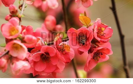 The bee in the flower of the Japanese quince
