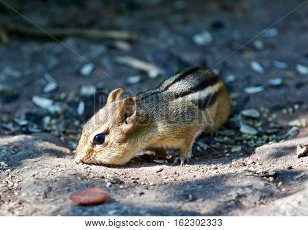 Beautiful Isolated Picture With A Cute Chipmunk On The Road