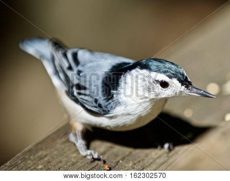 Beautiful Isolated Picture With A White-breasted Nuthatch Bird