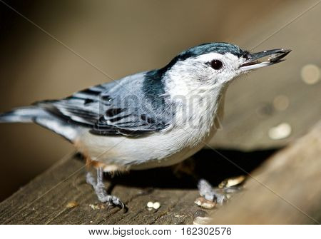 Beautiful Isolated Photo With A White-breasted Nuthatch Bird