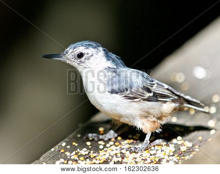 Beautiful Isolated Image With A White-breasted Nuthatch Bird