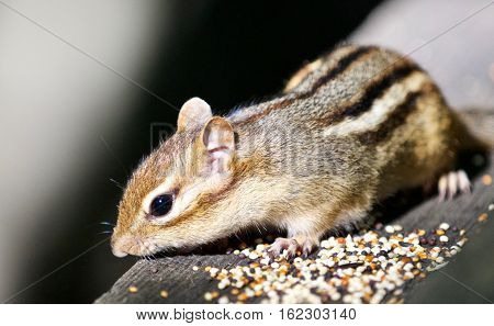 Beautiful Isolated Photo With A Cute Chipmunk On The Wooden Hedge