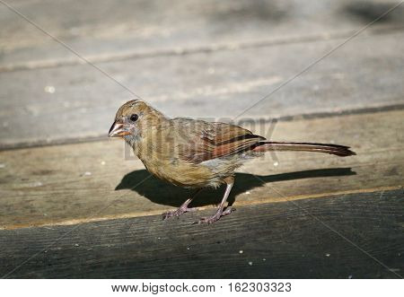 Beautiful Isolated Image With A Funny Bird On The Wooden Floor
