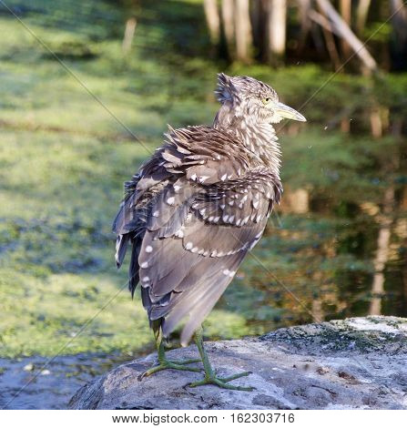 Beautiful Picture With A Funny Black-crowned Night Heron Shaking Her Feathers On A Rock