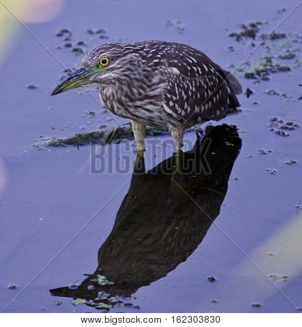 Photo Of A Funny Black-crowned Night Heron In The Water