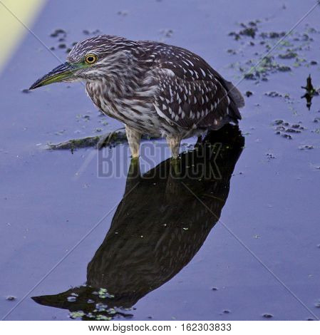 Isolated Image With A Funny Black-crowned Night Heron In The Water