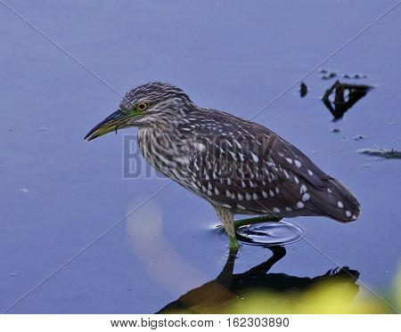 Isolated Image Of A Funny Black-crowned Night Heron In The Water