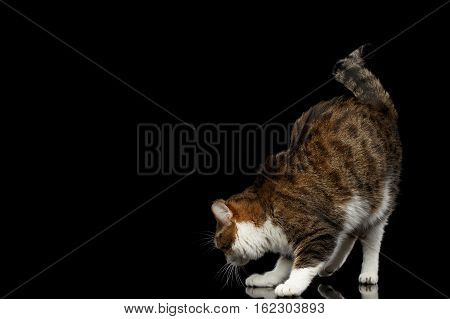 Curious Funny fat Cat nod of the head on isolated black background, Side view