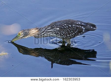 Isolated Image With A Funny Black-crowned Night Heron Drinking Water