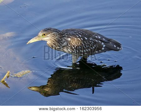 Isolated Photo Of A Funny Black-crowned Night Heron Walking In The Water