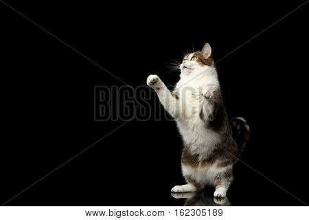 Playful Curious Funny fat Cat stretched up on hind legs on isolated black background