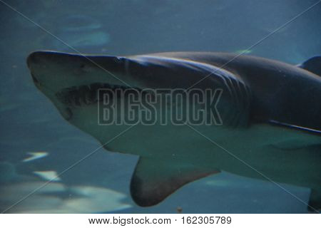 A Big Shark in Water in an Aquarium