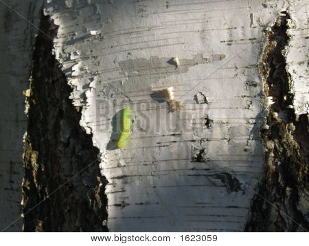 Small Green Inchworm On Paper Birch Tree