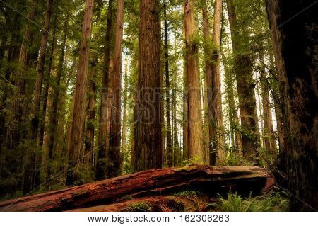This is a photo of redwood trees.