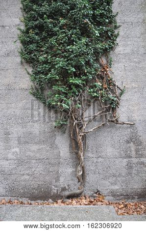 Green Ivy (Hedera) plant on a wall
