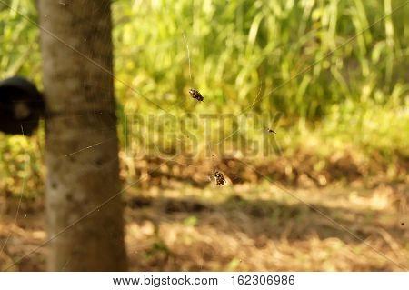 Spider Traps Prey In Longan Plantations