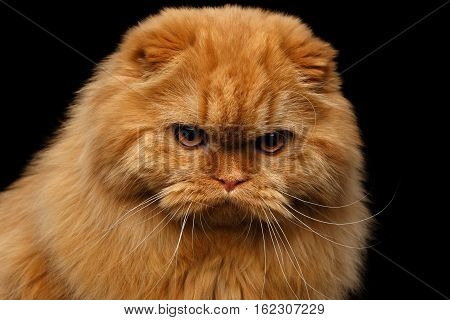 Close-up portrait of Grumpy red scottish fold highland breed Cat angry stare in camera on isolated black background