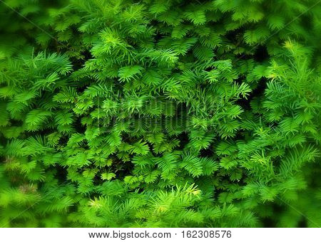 Green Hedge of Thuja Trees