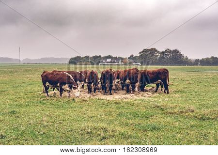 Hereford Cows Eating Hay On A Green Field