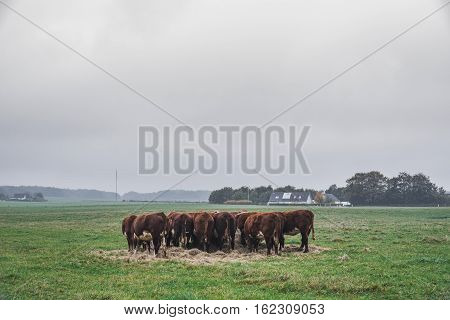Hereford Cows Holding A Meeting