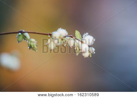 Snowberries On A Twig On A Frosty Winter Morning