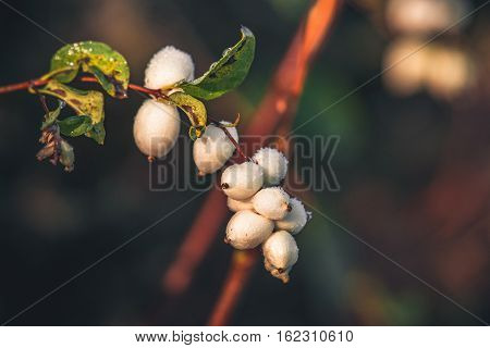 White Snowberries On A Branch
