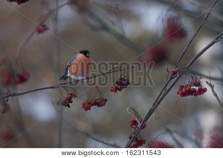 a male bullfinch sitting in a rowantree