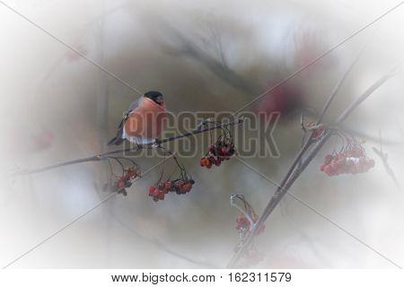 a male bullfinch in a rowanberry tree