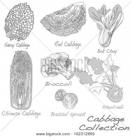 Cabbage Image set isolated illustration on white background .