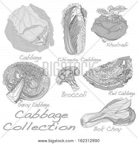 Cabbage Image set isolated illustration on white background .