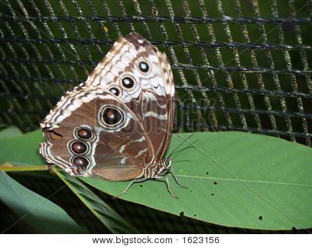 Owl Butterfly (caligo eurilochus sulanus) from costa rica poster
