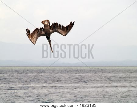 pelican fishing in a tropical beach at