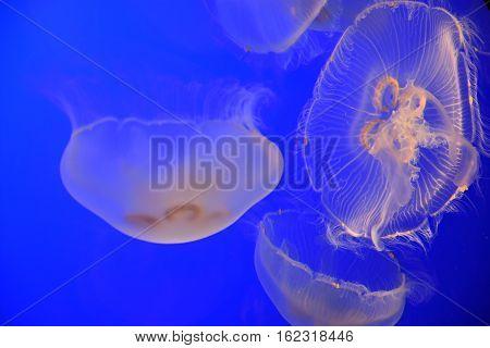 A Jellyfish in Water in an Aquarium