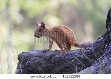 frightened Teen squirrel in wild forest stop stand on rhizome of pine