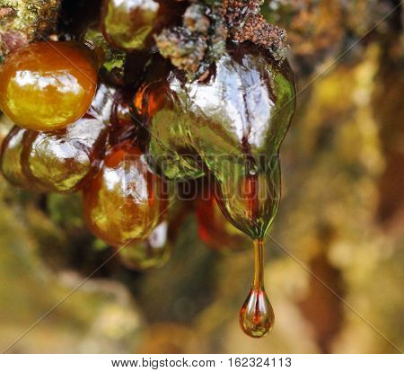Fine texture resin hanging on apricot tree