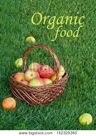 Basket with organic apples on green grass in garden