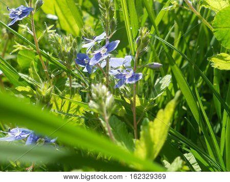 este o poza cu iarba verde si floricele albastre