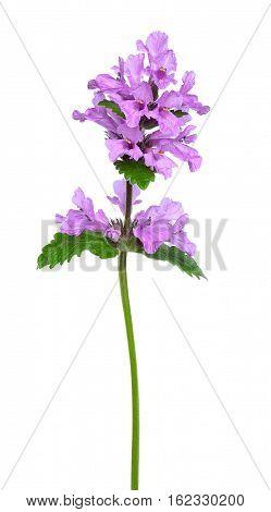 Phlomoides tuberosa (Phlomis tuberosa) flower isolated on a white background